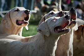 Parade of Hounds - Harriers.jpg
