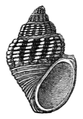 Paramelania crassigranulata shell.png