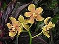 Paravanda Nelson Mandela -新加坡植物園 Singapore Botanic Gardens- (9216068620).jpg