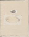 Pardachirus marmoratus - 1700-1880 - Print - Iconographia Zoologica - Special Collections University of Amsterdam - UBA01 IZ14000267.tif