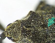 Parethelcus pollinarius pronotum.jpg