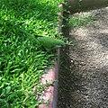 Parrot (24462372254).jpg