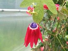 زهرة الالام الحمراء