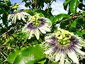 Passiflora edulis flavicarpa2450667926.jpg