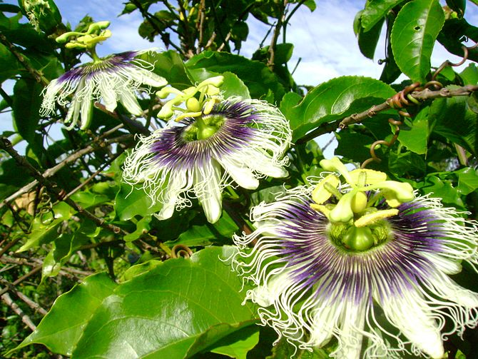 Passion fruit flowers on the coffee plantation