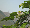 Passion Fruit (Passiflora edulis) Flowering on the Vine.JPG