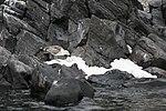 Paulet Island (24000698193).jpg