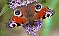 Peacock Butterfly 2 (4915874739).jpg