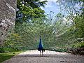 Peacock at Ruthin Castle (8980947352).jpg