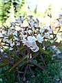 Pedicularis (6123681101).jpg