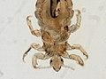 Pediculus humanus (YPM IZ 093569).jpeg