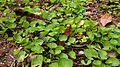 Pegaga (Centella asiatica) 1.jpg