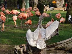 Pelecanus rufescens.001 - Zoo Aquarium de Madrid.JPG