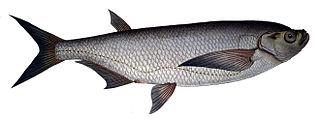 <i>Pelecus cultratus</i> species of fish
