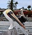 Pelican Portrait (15716264849).jpg