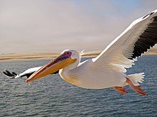 Pelikan Walvis Bay.jpg