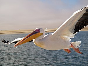 Pelican - A great white pelican in breeding condition flying over Walvis Bay, Namibia.