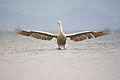Pelikan vo sletuvanje.jpg