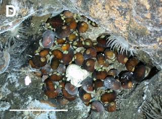 <i>Lepetodrilus</i> genus of molluscs