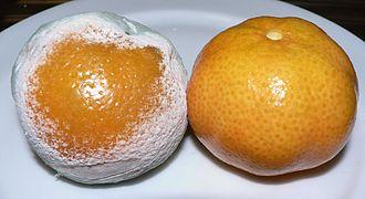Penicillium - Some penicillium mold on mandarin oranges
