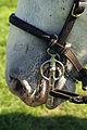 Percherons attelés mondial du cheval percheron 2011Cl J Weber12 (23455207354).jpg