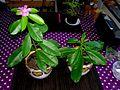 Pereskia Grandifolia 03.jpg