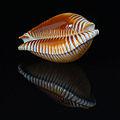 Perisserosa guttata guttata 2 600x600.JPG