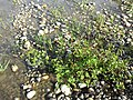 Persicaria lapathifolia subsp. brittingeri sl3.jpg