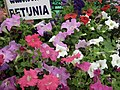 Petunia Single from Lalbagh flower show Aug 2013 8024.JPG