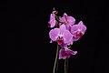 Phalaenopsis, 1802242031, ako.jpg
