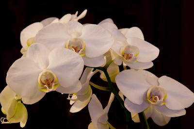 Phalaenopsis amabilis Photography critiques 19-01-2010 8-02-02.png