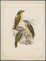 Philepitta schlegeli - 1868 - Print - Iconographia Zoologica - Special Collections University of Amsterdam - UBA01 IZ16400295.tif