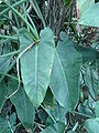 Philodendron cannifolium leaves 01 by Line1.JPG