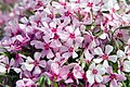 Phlox subulata Apple Blossom 1zz.jpg