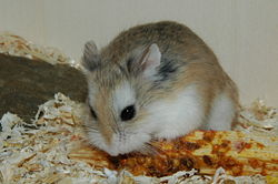 A Roborovski hamster eating