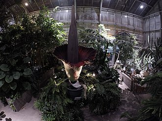 A titan arum blooming inside the McMaster Biology Greenhouse. The Greenhouse is one of many facilities used for research at the university. Phoebe - McMaster University April 20 2017.jpg