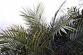 Phoenix roebelenii 22zz.jpg