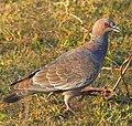 Picazuro Pigeon (Patagioenas picazuro) (48429913276).jpg