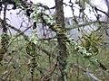 Picea mexicana with lichen.jpg