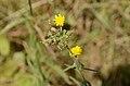 Picris heiracioides.jpg