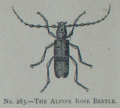 Picture Natural History - No 283 - The Alpine Rose Beetle.png