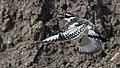 Pied kingfisher (Ceryle rudis) 9.jpg