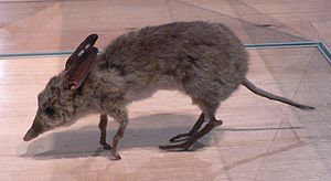 Pig-footed bandicoot - Taxidermied specimen at Melbourne Museum