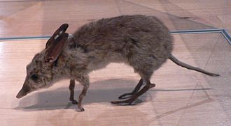 Chaeropus - Taxidermied specimen at Melbourne Museum