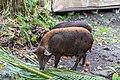 Pigs on Road to Hana Maui Hawaii (45690634462).jpg