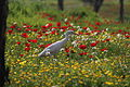 PikiWiki Israel 19263 Heron among the flowers.JPG