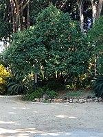 PikiWiki Israel 53346 montefiore tree in the tropical garden in tel aviv.jpg