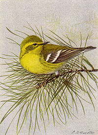 Pine Warbler NGM-v31-p316-D