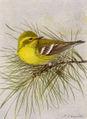 Pine Warbler NGM-v31-p316-D.jpg