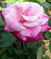 Pink rosa.jpg